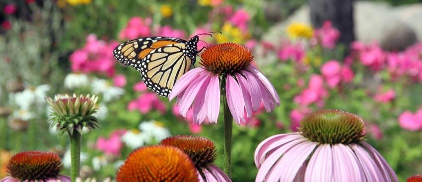 Photo of monarch butterfly on purple coneflower