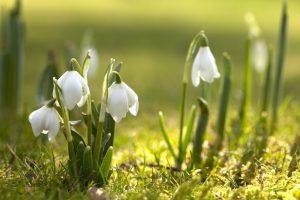 Snow Drop flowers emerging