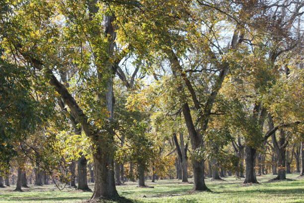 Pecan Trees Orchard Farm.