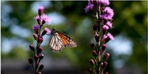 Monarch butterfly lands on purple flower