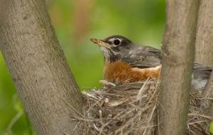 American Robin in a tree sitting in nest