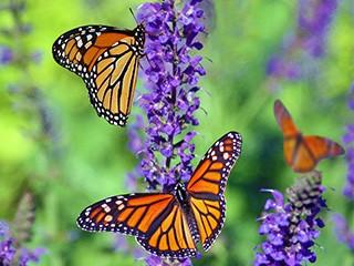 Monarchs in garden